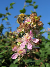 Photo: Bee on blackberry flowers This is from mid October when I was in England. What was remarkable here were the brand new flowers on these brambles/blackberries. The fruit is usually ready for picking in August so these canes must have had a second flush!  Oh and the other remarkable thing was that the sky was this colour in England. ;-)  For +Bee Thursday curated by +Dorothy Pugh #beethursday