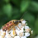 Banded Longhorn Flower Beetle