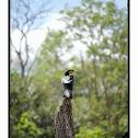 Great Black Cormorant