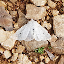 Muslin Moth ♀