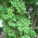 Eastern White Cedar