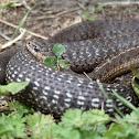 Wandering Garter Snake