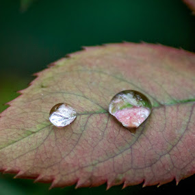 Water droplet on leaf after rain. by Brijesh Meena - Nature Up Close Natural Waterdrops ( rose leaf, after rain, rain drops, water droplets, rain, droplets )