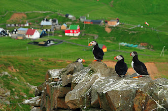 Photo: Puffins on Mykies