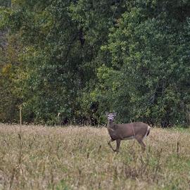 Kentucky Wildlife by Jim Dawson - Novices Only Wildlife ( #doe. #deer. #wildlife. #kentucky. #fall. #country. )