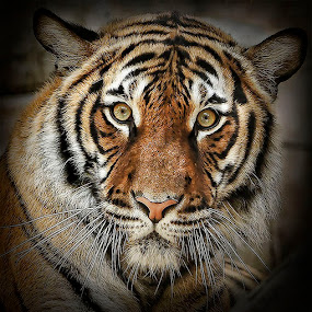 The Eyes Have It by Merna Nobile - Animals Other Mammals ( cats )