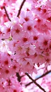 Sakura Live Wallpaper- screenshot thumbnail