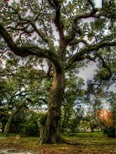 Photo: Live Oaks in the Old Burying Ground - Photo courtesy Lisa Margolis