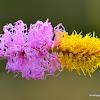 sicklebush, Bell mimosa, Chinese lantern tree, कुणाली,  दुरंगी बबूल