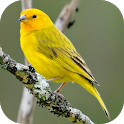 Song of Canaries icon