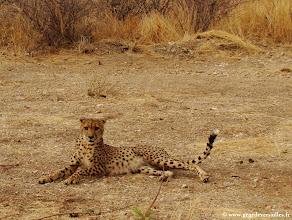 Photo: #002-Guépard (Cheetah) à Epako game Lodge