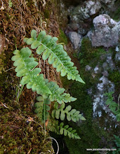 Photo: Ferns growing in the cool, shaded rocks at the south shore of Blue Lake