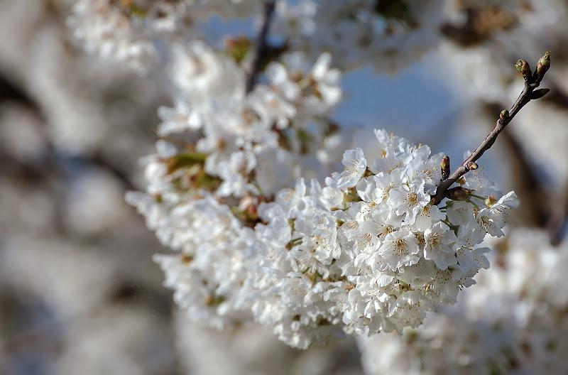 White flowers di Pinco_Pallino