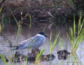 Photo: Gull-billed Tern, Kota Belud wetlands