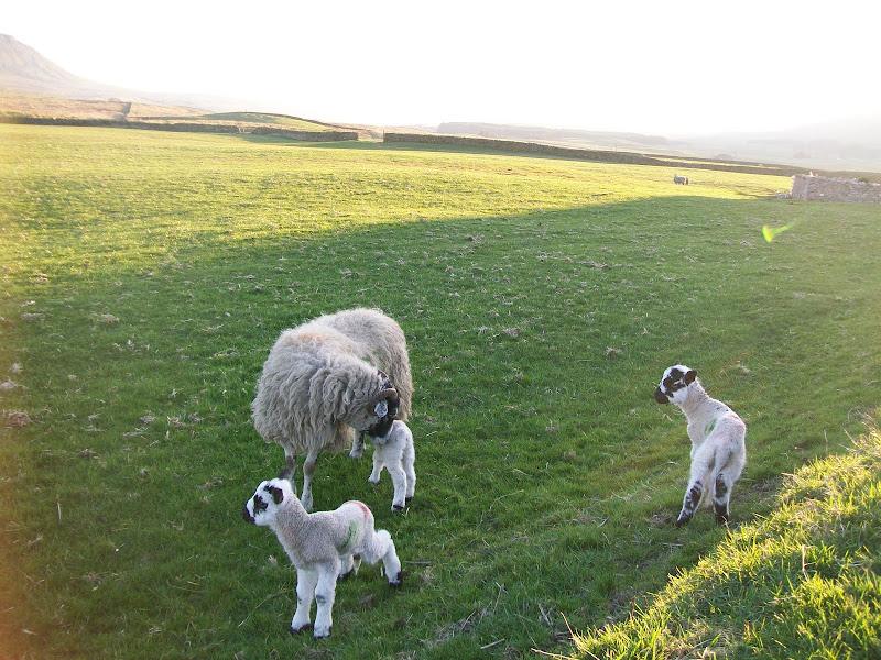 Photo: Sheep and Lambs.