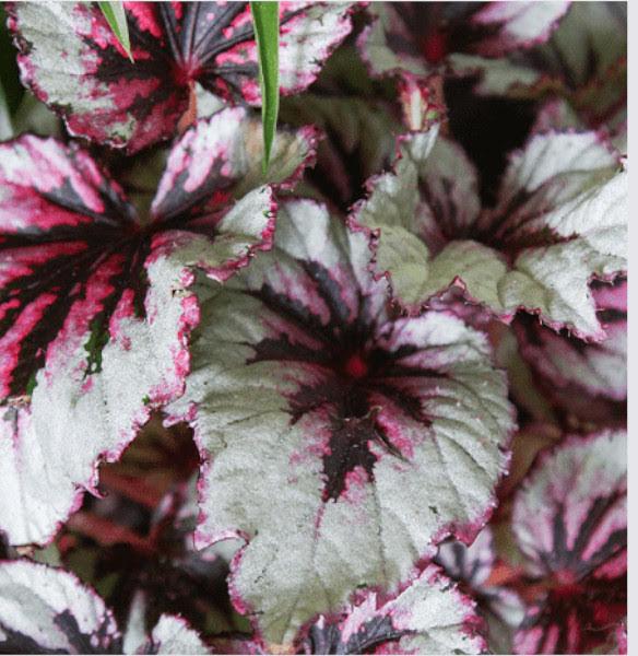 Begonia rexplanta instalada en jardines verticales