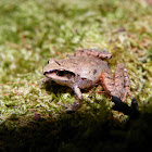 Polymorphic Robber Frog