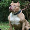 Pitbull Pack 3 Dog Wallpaper apk