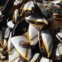 Smooth Goose Barnacle