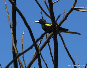Photo: Yellow-winged Cacique, Rancho Primavera