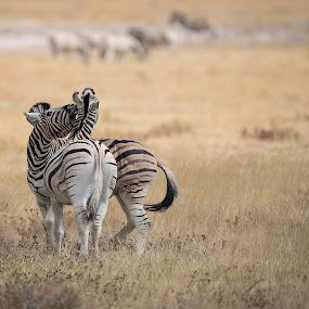 Fighting zebras by Ronnie Bergström - Animals Other ( zebra, travelling, nature, namibia, nikon, grass, animal, animals, travel, etosha, wild, landscape, wildlife )