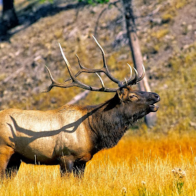 Rocky Mountain Elk by Bruce Newman - Animals Other Mammals ( anamils, elk, fall, dramatic, nature photography, natural,  )