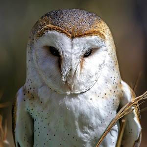 Barn Owl-1.jpg