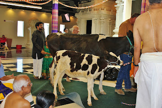 Photo: Cow and calf together for puja