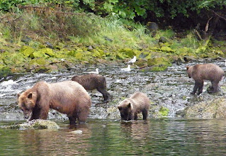 Photo: Brown Bear Sow with Three Cubs