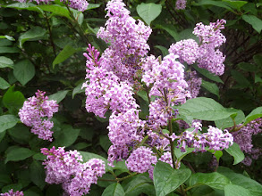 Photo: Lilacs were in bloom everywhere I visited.