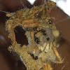 Trash-line spider