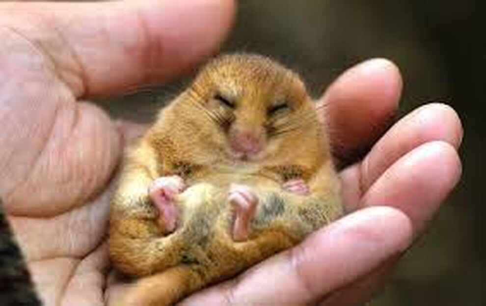 Cute Dormouse closing its eyes lying on a hand