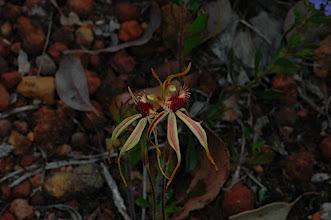 Photo: Caladenia longiclavata?