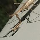 Scudder's Mantis