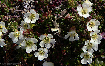 Photo: Uuvana (Diapensia lapponica) 26.6.2004 Inari, Sarmitunturi, Akalauttapää.