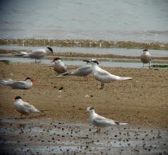 Photo: Sandwich Tern