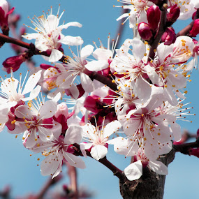 Beautiful spring by Michael Krivoshey - Flowers Tree Blossoms ( red, 2015, beautiful, white, apricot, spring, blossom,  )