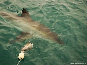 Photo: #005-Quelques minutes plus tard, les premiers grands requins blancs arrivent.