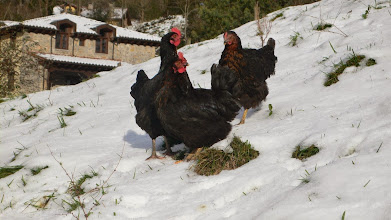 Photo: January; snow and the chickens