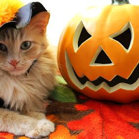 Ready for Halloween by Brandi Nichols - Public Holidays Halloween ( cat, haloween, fall, costume, trick or treat, october, feline, halloween )