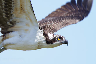 Photo: Osprey
