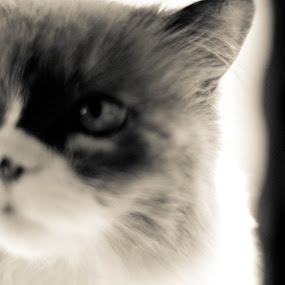 Meiko 1 by Megan Maxwell - Animals Other Mammals ( #himalayans, #portraits, #cats, #artistic, #blackandwhite )