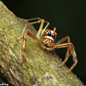 Viciria Jumping Spider