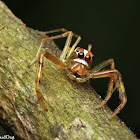 Viciria Jumping Spider