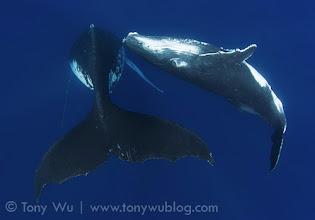 Photo: Toluua (calf #32). Toluua's mom is also the mother of Luna, calf #13 from 2009.
