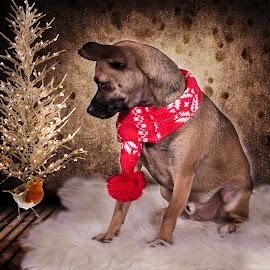 Christmas Pup by Vix Paine - Animals - Dogs Portraits ( chihuah, christmas, rustic christmas, christmas card, rustic, colour, robin, tree, santa, christmas backdrop, snow, puppy, dog, , Christmas, card, Santa, Santa Claus, holiday, holidays, season, Advent )