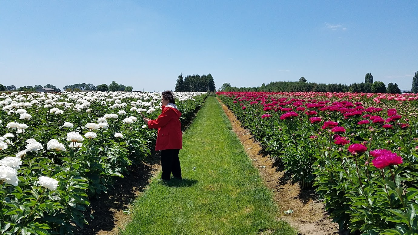 Visiting the Adelman Peony Gardens just north of Salem, about an hour south of Portland is free and open generally from May-June during bloom season