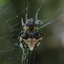 triangulate orb weaver, arrowhead spider