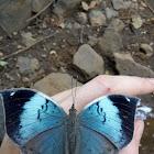 Blue Oakleaf