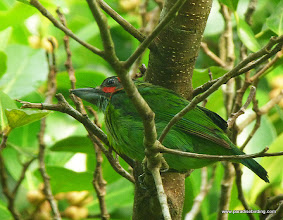 Photo: Blue-eared Barbet, Sepilok